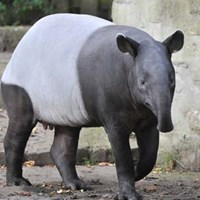 One of the tapirs at Edinburgh Zoo