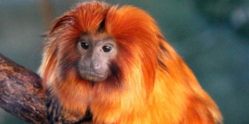 golden lion tamarin_2