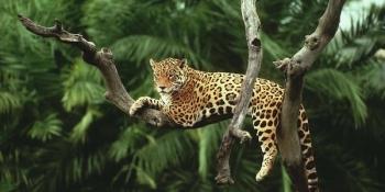 jaguar in tree_2